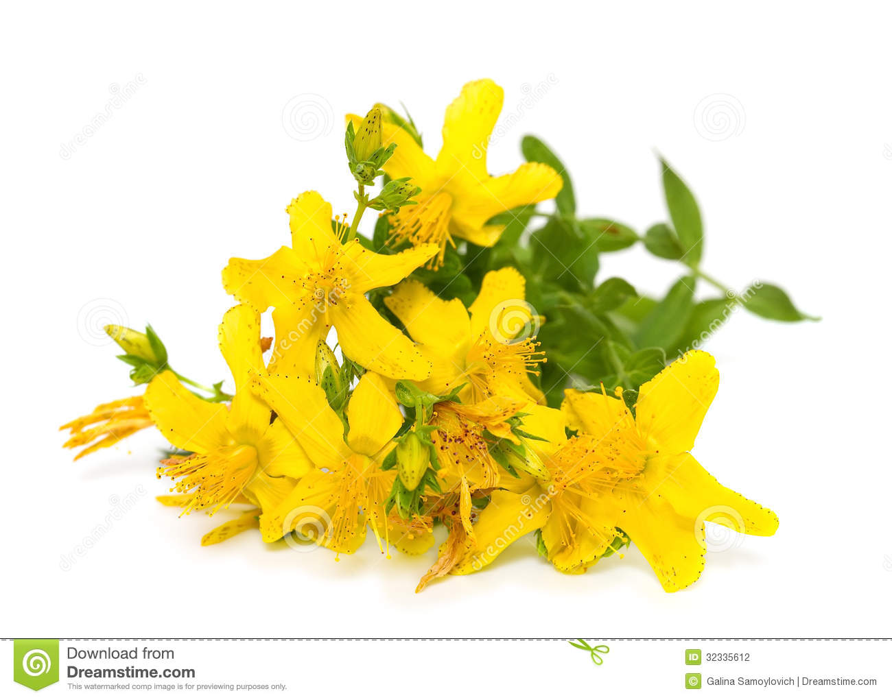 St John's Wort clipart #20, Download drawings