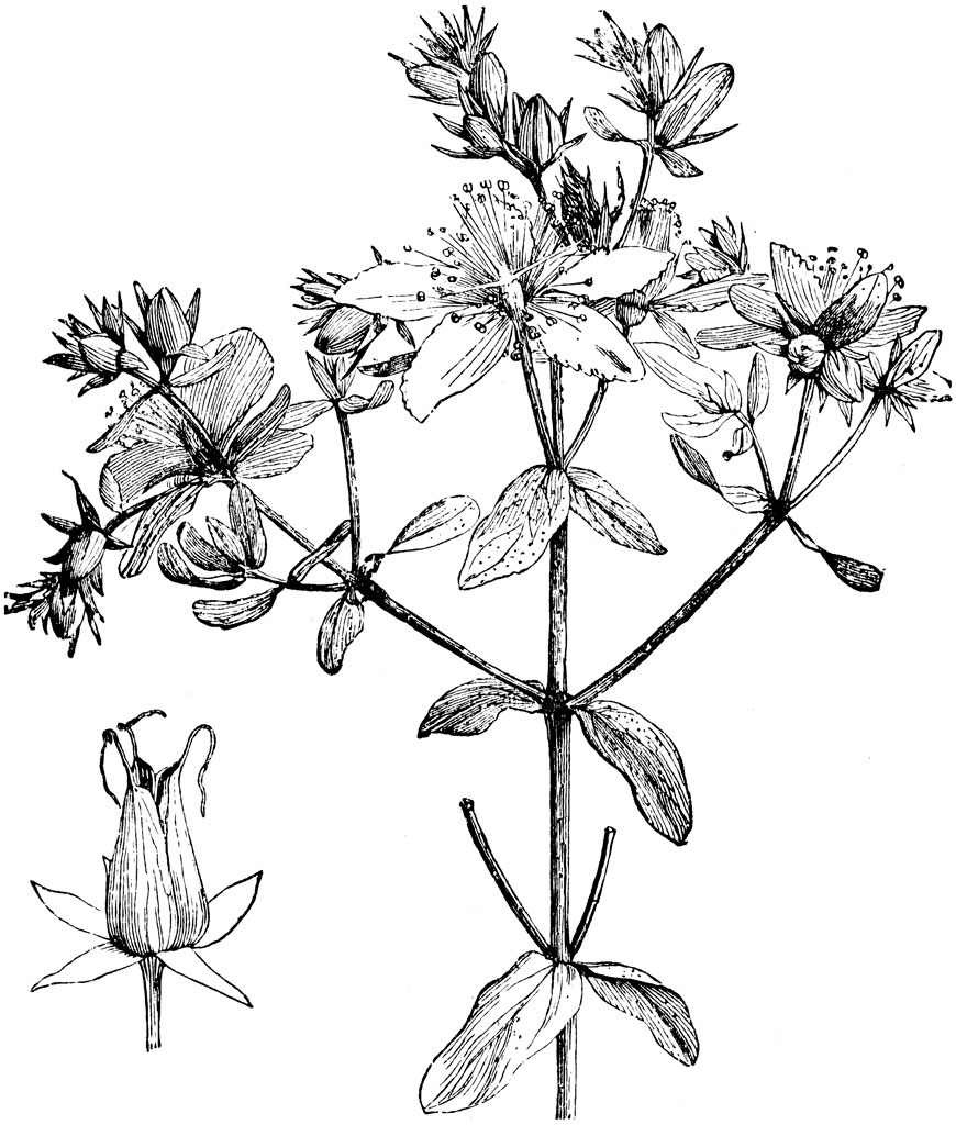 St John's Wort clipart #18, Download drawings