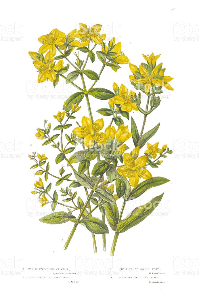 St John's Wort clipart #17, Download drawings