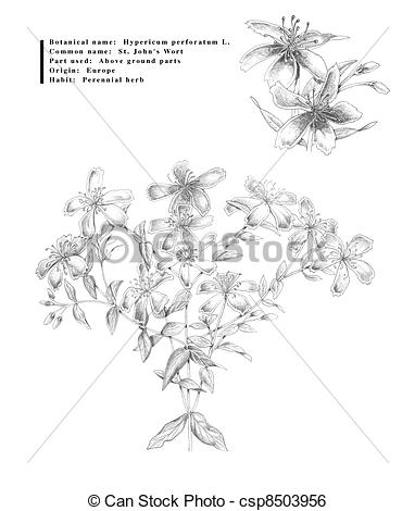 St John's Wort clipart #10, Download drawings