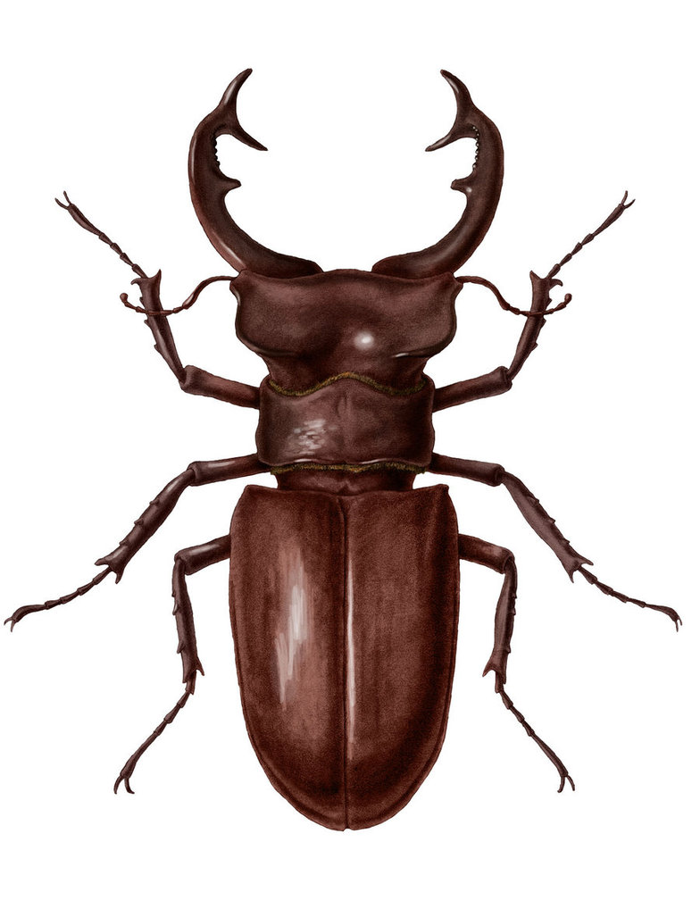 Stag Beetle clipart #5, Download drawings