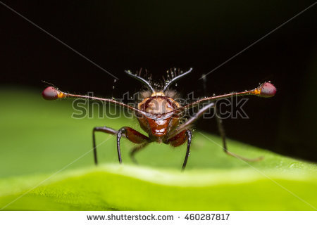 Stalk-eyed Fly clipart #13, Download drawings