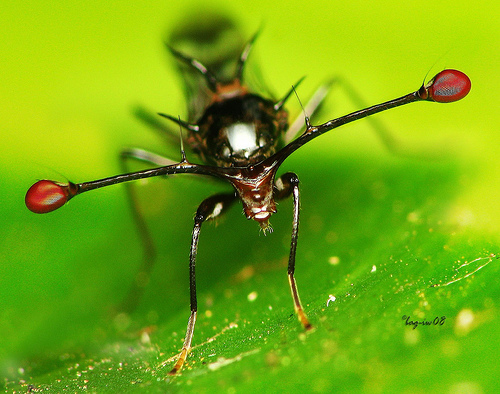 Stalk-eyed Fly clipart #4, Download drawings