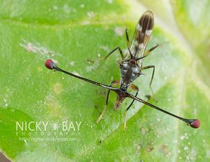 Stalk-eyed Fly clipart #1, Download drawings