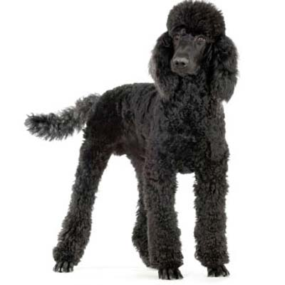 Standard Poodle clipart #1, Download drawings