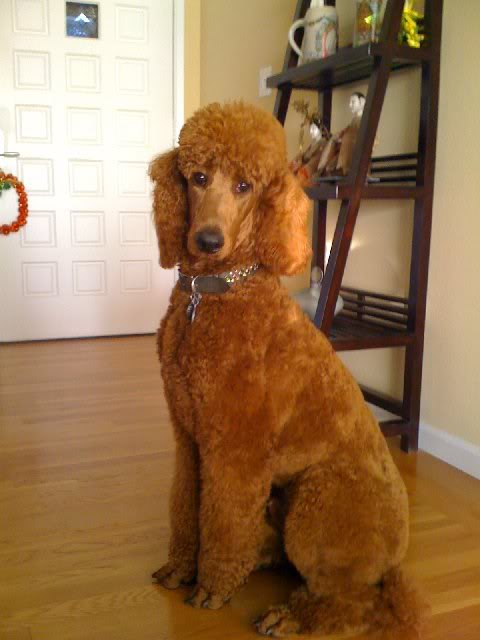 Standard Poodle coloring #10, Download drawings