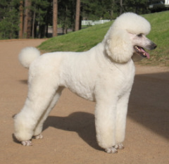 Standard Poodle coloring #8, Download drawings