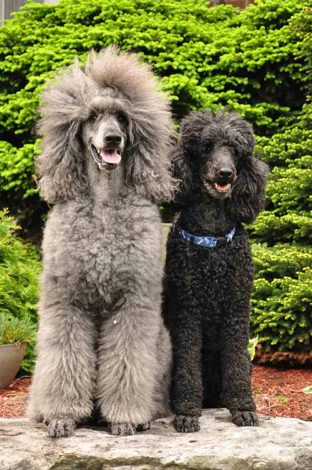 Standard Poodle coloring #5, Download drawings