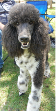 Standard Poodle coloring #3, Download drawings