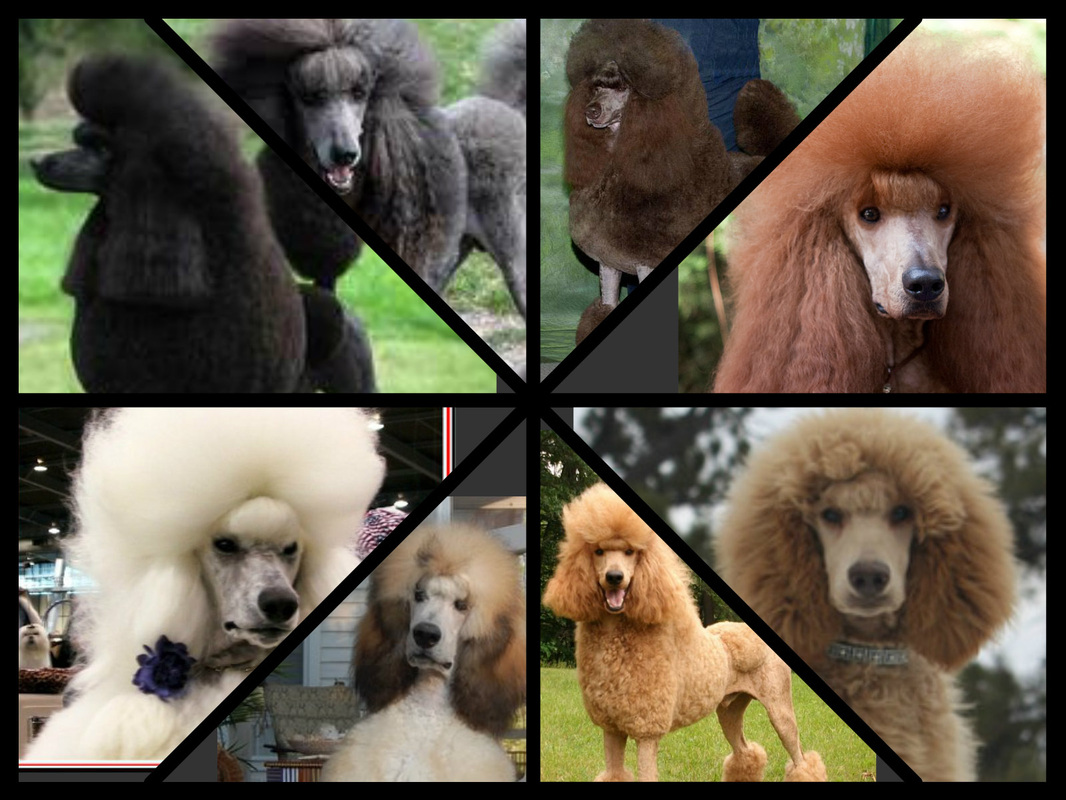 Standard Poodle coloring #16, Download drawings