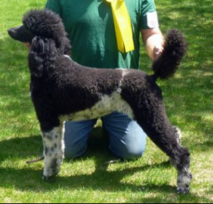 Standard Poodle coloring #15, Download drawings