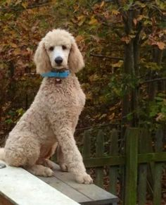 Standard Poodle coloring #17, Download drawings