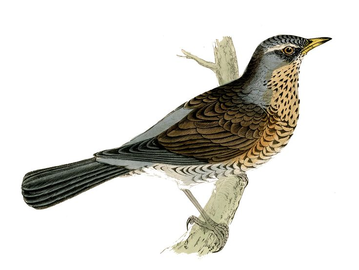Starling clipart #1, Download drawings