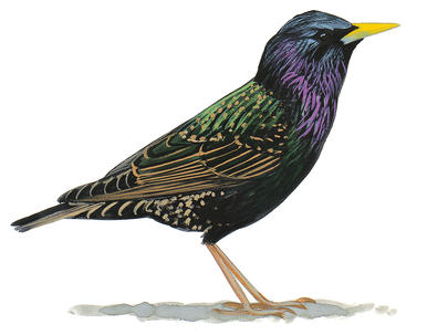 Starling clipart #14, Download drawings