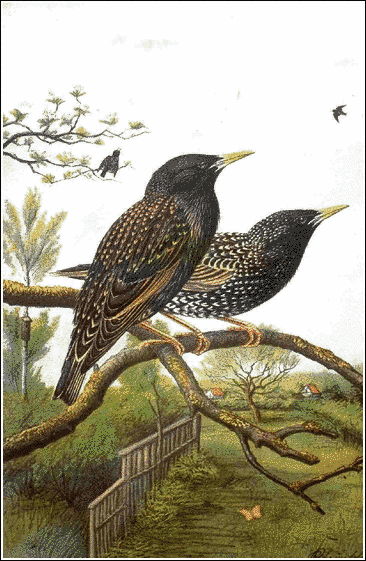 Starling clipart #8, Download drawings