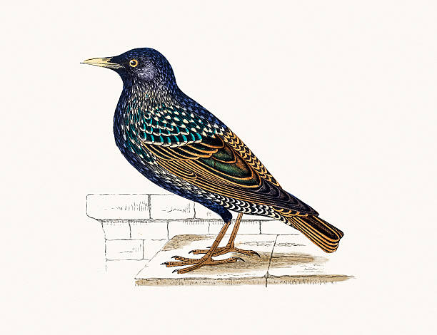 Starling clipart #9, Download drawings