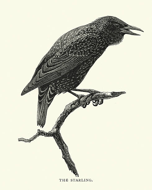 Starling clipart #11, Download drawings