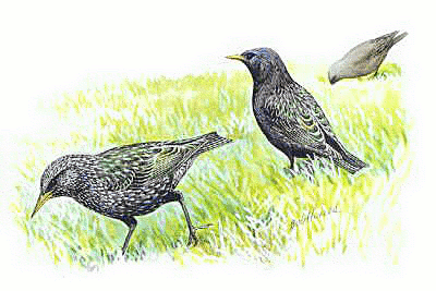 Starling clipart #13, Download drawings