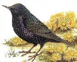 Starling clipart #18, Download drawings