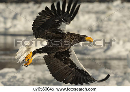 Steller's Sea Eagle clipart #14, Download drawings