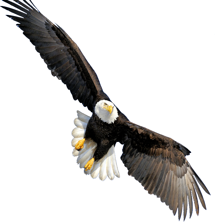 Steller's Sea Eagle clipart #2, Download drawings