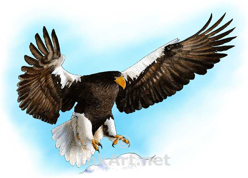Steller's Sea Eagle clipart #4, Download drawings