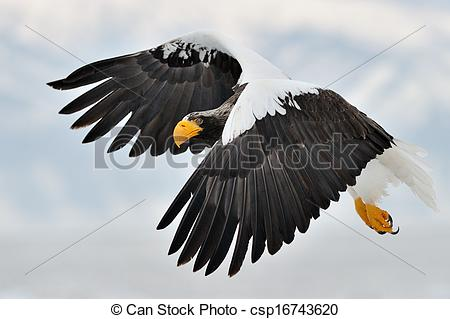 Steller's Sea Eagle clipart #11, Download drawings