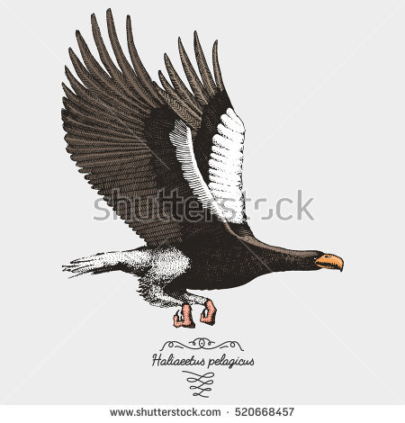 Steller's Sea Eagle clipart #10, Download drawings