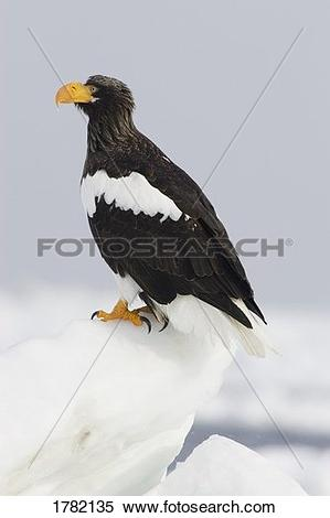 Steller's Sea Eagle clipart #13, Download drawings