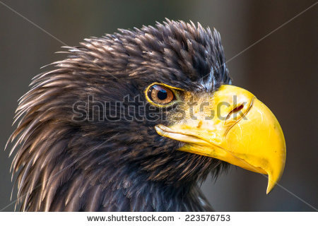 Steller's Sea Eagle clipart #1, Download drawings