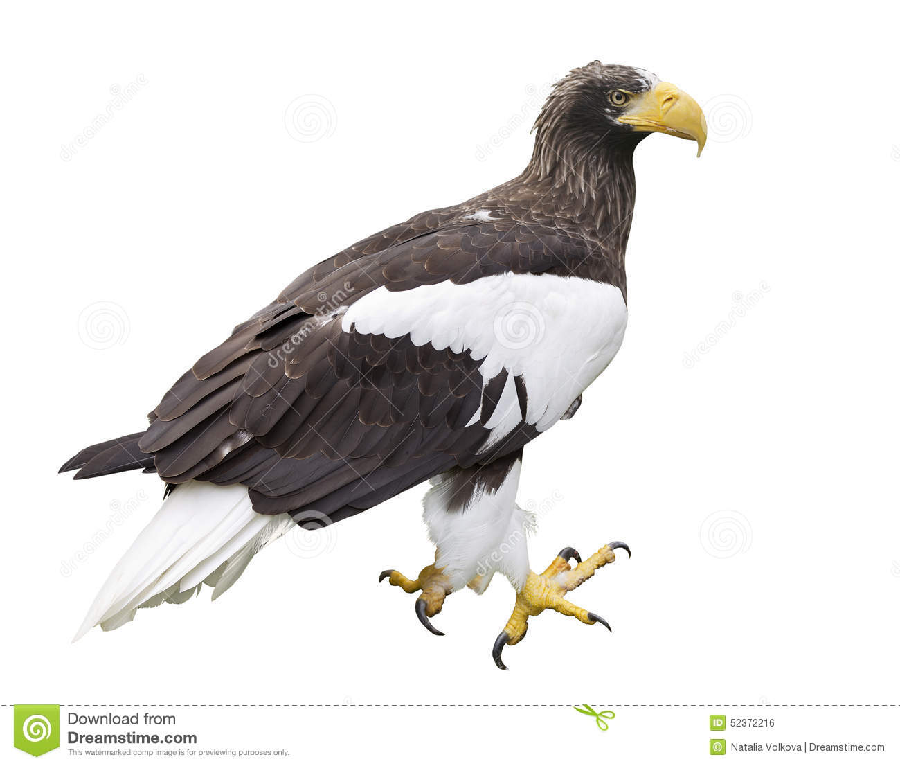 Steller's Sea Eagle clipart #19, Download drawings
