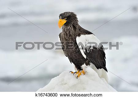 Steller's Sea Eagle clipart #16, Download drawings