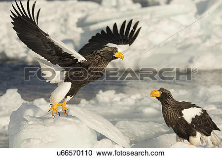 Steller's Sea Eagle clipart #18, Download drawings