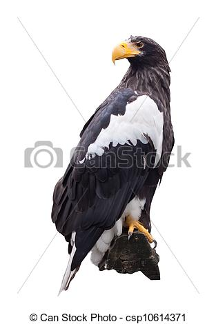 Steller's Sea Eagle clipart #17, Download drawings