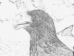 Steller's Sea Eagle coloring #3, Download drawings