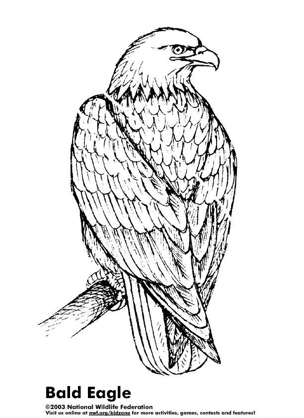 Steller's Sea Eagle coloring #16, Download drawings