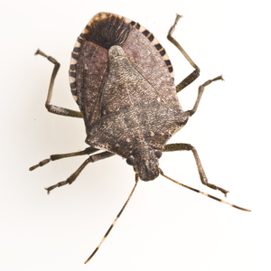 Stink Bug clipart #15, Download drawings