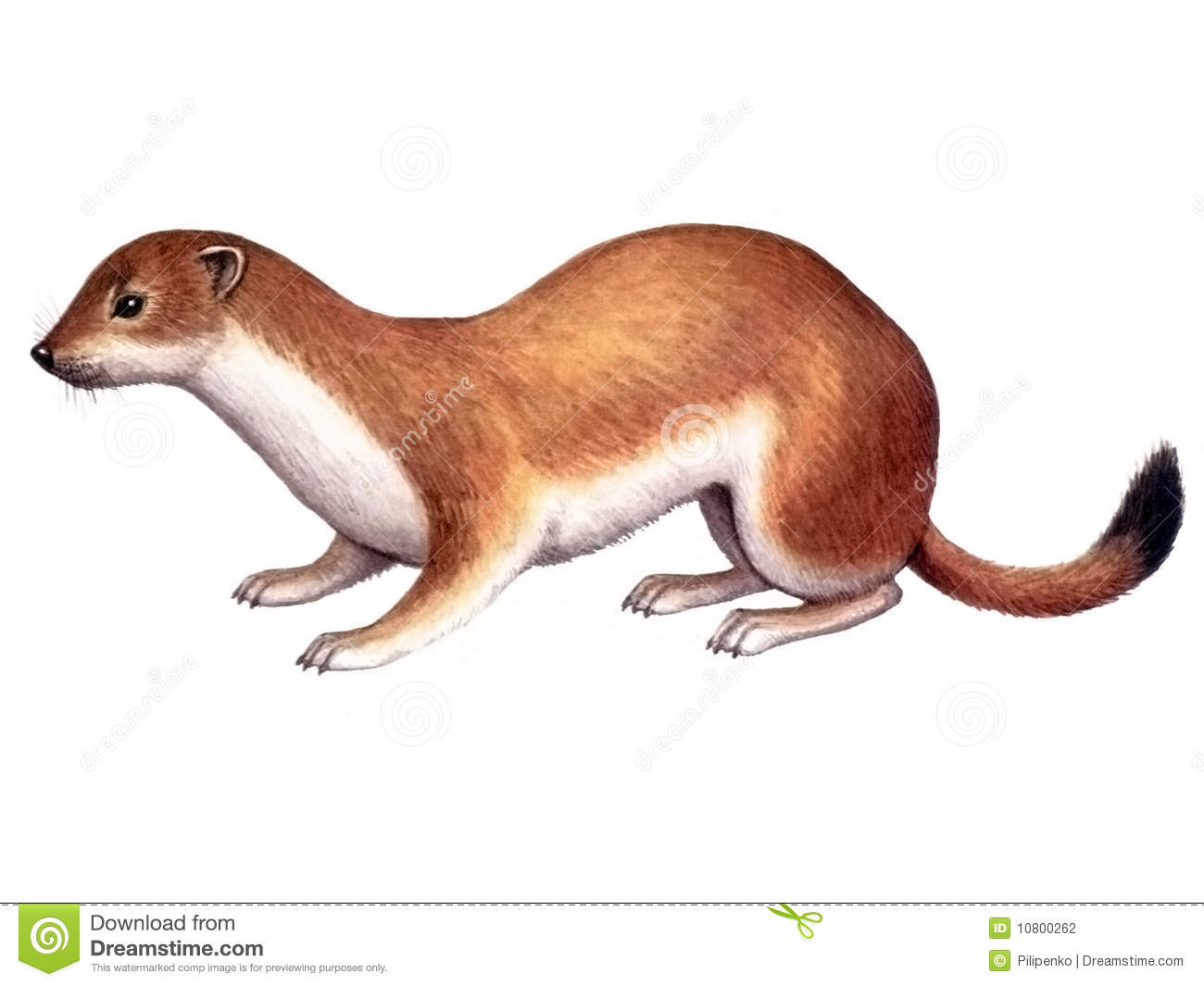 Stoat clipart #10, Download drawings