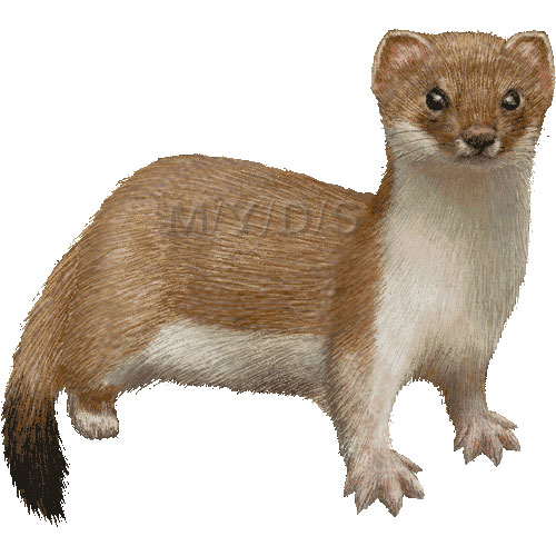The Stoat clipart #6, Download drawings