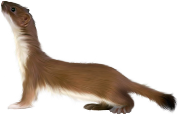 Stoat clipart #4, Download drawings