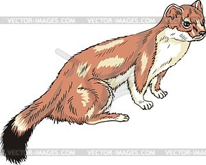 The Stoat clipart #3, Download drawings