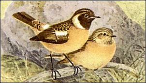 Stonechat clipart #7, Download drawings