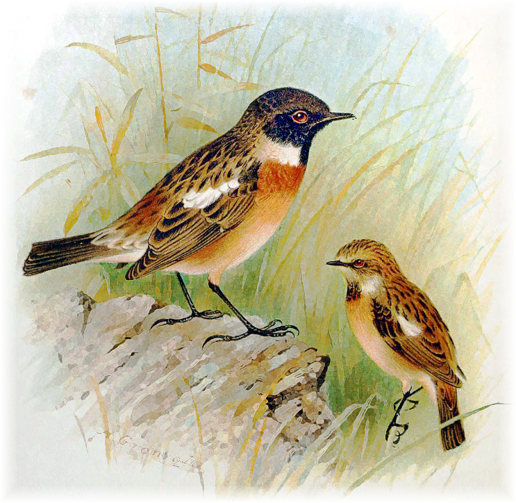 Stonechat clipart #5, Download drawings