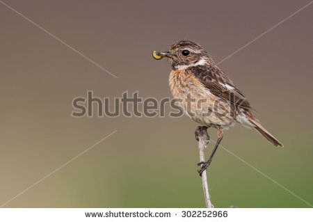 Stonechat clipart #10, Download drawings