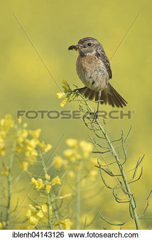 Stonechat clipart #12, Download drawings