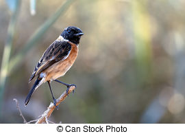 Stonechat clipart #11, Download drawings