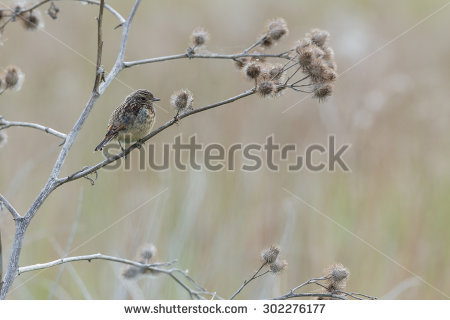 Stonechat clipart #4, Download drawings
