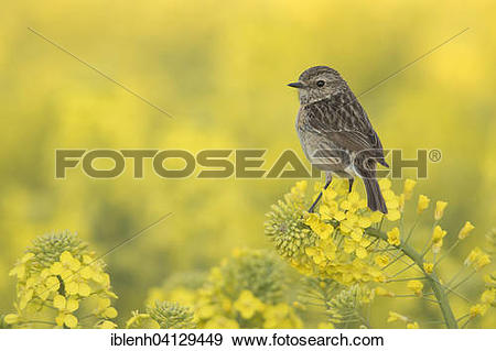 Stonechat clipart #19, Download drawings