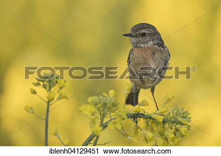 Stonechat clipart #18, Download drawings