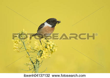 Stonechat clipart #16, Download drawings